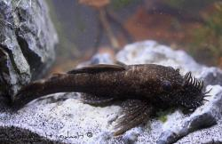 Ancistrus temminckii - Click for species page