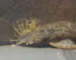 Ancistrus triradiatus