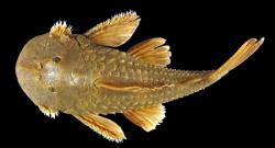 Andeancistrus platycephalus - Click for species data page