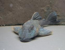 Baryancistrus beggini