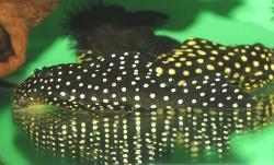 Baryancistrus cf. niveatus - Click for species page