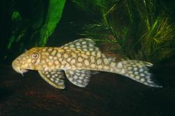 Baryancistrus sp. (L019) - Click for species data page