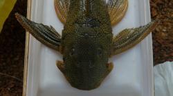 Baryancistrus sp. (L019)