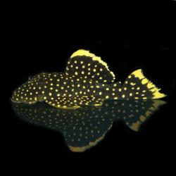 Baryancistrus xanthellus - Click for species page