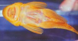 Chaetostoma formosae