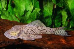Chaetostoma joropo