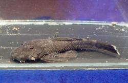 Chaetostoma pearsei - Click for species page