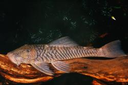 Chaetostoma sp. `COLOMBIA` - Click for species page