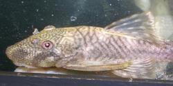 Chaetostoma sp. (5)