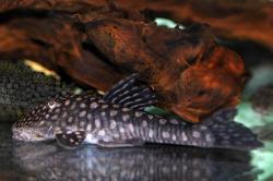 Cordylancistrus setosus - Click for species page