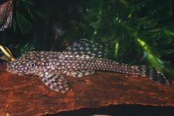 Dekeyseria scaphirhynchus - Click for species data page