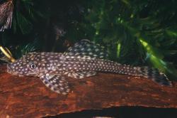 Dekeyseria scaphirhynchus - Click for species page