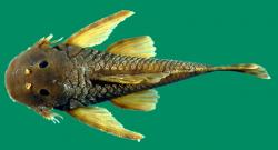 Dolichancistrus cobrensis - Click for species data page