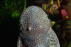 Dolichancistrus fuesslii