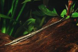 Farlowella curtirostra - Click for species data page
