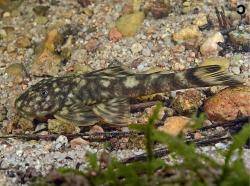 Guyanancistrus megastictus - Click for species data page