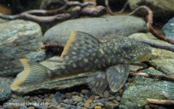 Hemiancistrus guahiborum - Click for species data page