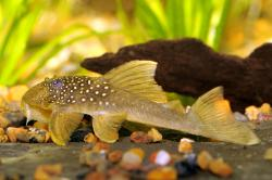 Hemiancistrus subviridis - Click for species page