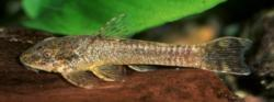 Hisonotus hungy - Click for species page