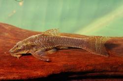 Hisonotus notopagos - Click for species data page