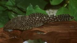 Hopliancistrus munduruku - Click for species data page