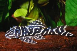 Hypancistrus debilittera - Click for species data page