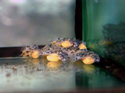 Hypancistrus furunculus