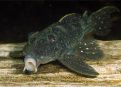 Hypancistrus lunaorum