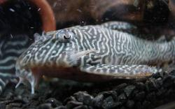 Hypancistrus sp. `LOWER RIO XINGU` - Click for species page