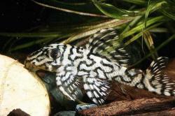 Hypancistrus sp. (1) - Click for species page