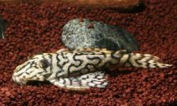 Hypancistrus sp. (1)