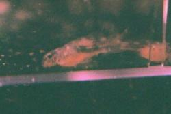Hypancistrus sp. (L004)