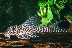 Hypancistrus sp. (L066) - Click for species data page