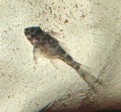 Hypancistrus sp. (L066)