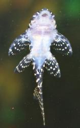 Hypancistrus sp. (L066)