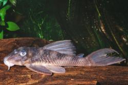 Hypancistrus sp. (L070) - Click for species data page