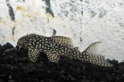 Hypancistrus sp. (L136C) - Click for species data page