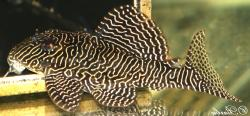 Hypancistrus sp. (L260)