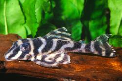 Hypancistrus sp. (L270) - Click for species data page