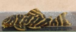 Hypancistrus sp. (L270)