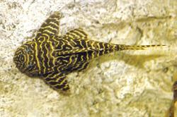 Hypancistrus sp. (L333)