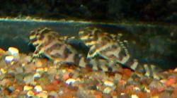 Hypancistrus sp. (L333)