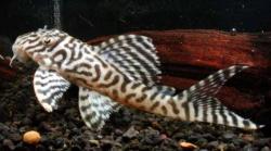 Hypancistrus sp. (L345)