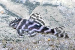 Hypancistrus sp. (L450) - Click for species data page