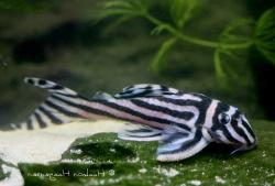 Hypancistrus zebra - Click for species data page