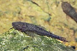 Hypoptopoma brevirostratum