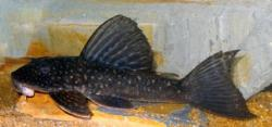 Hypostomus albopunctatus - Click for species page