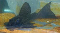 Hypostomus albopunctatus