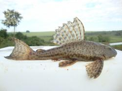 Hypostomus ancistroides - Click for species page