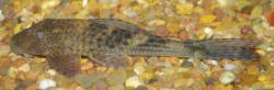 Hypostomus aspilogaster